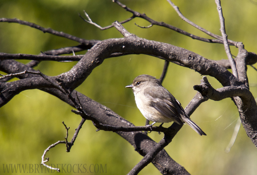 African Dusky Flycatcher at Jonkershoek