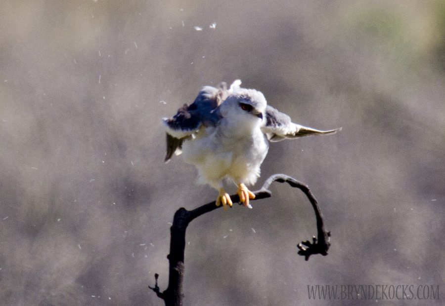 Black Shouldered Kite at Jonkershoek