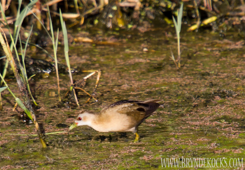 Little Crake at Clovelly