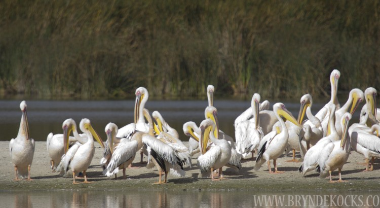 Rondevlei Bird Sanctuary Pelicans
