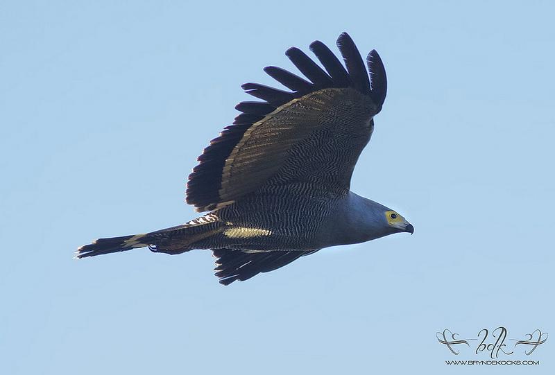 Gymnogene (African Harrier-Hawk) in Flight