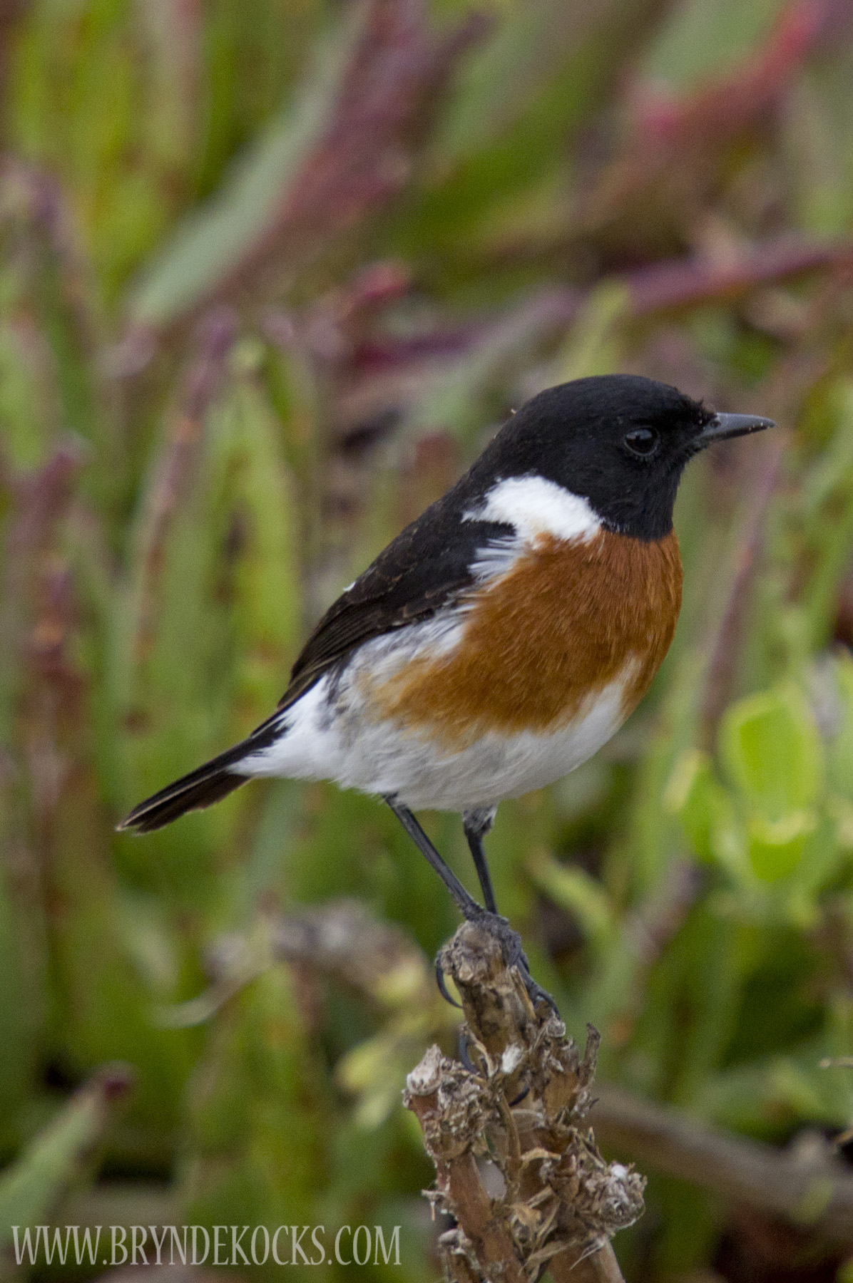Stonechat at the West Coast National Park