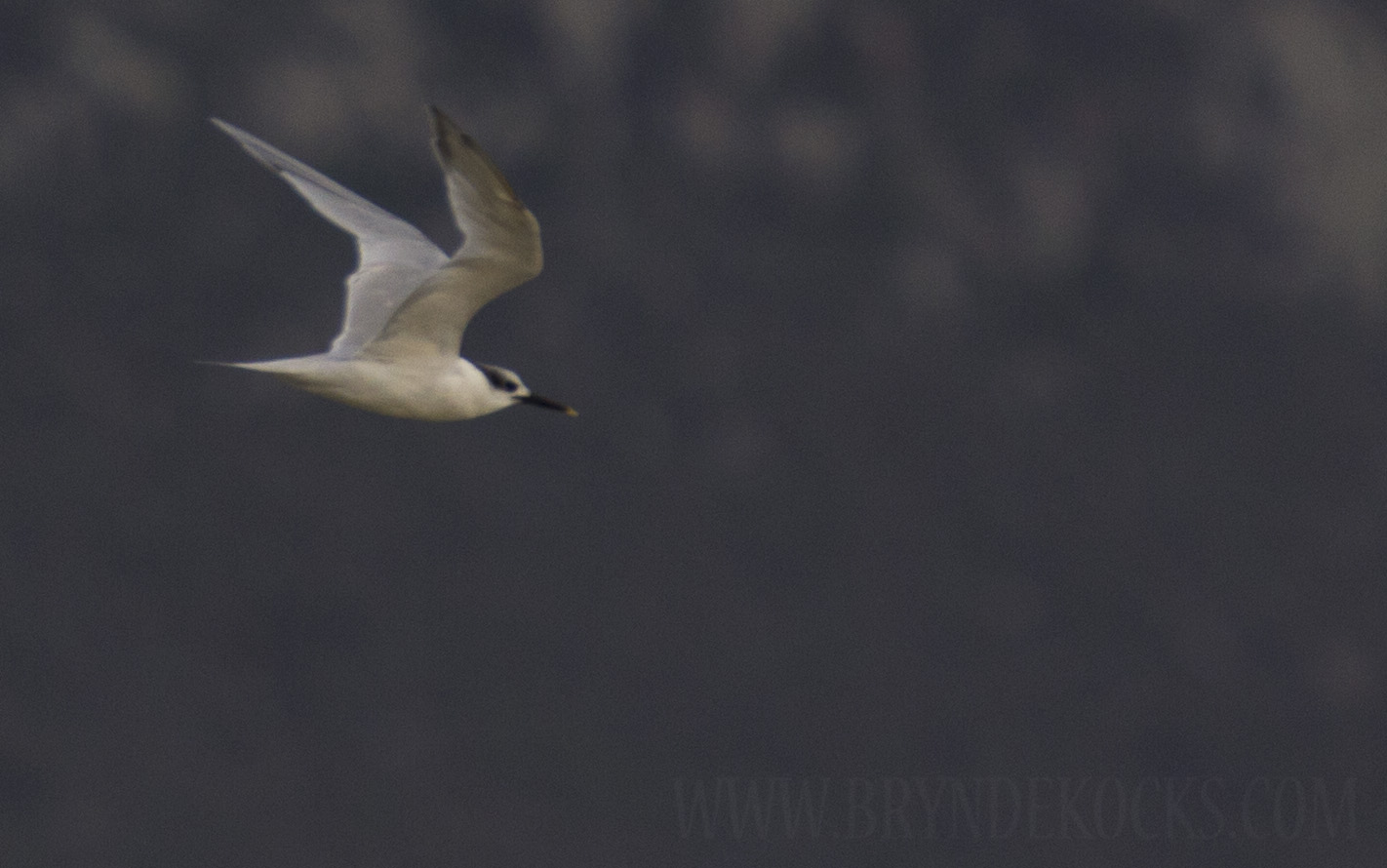 Sandwich Tern at the West Coast National Park