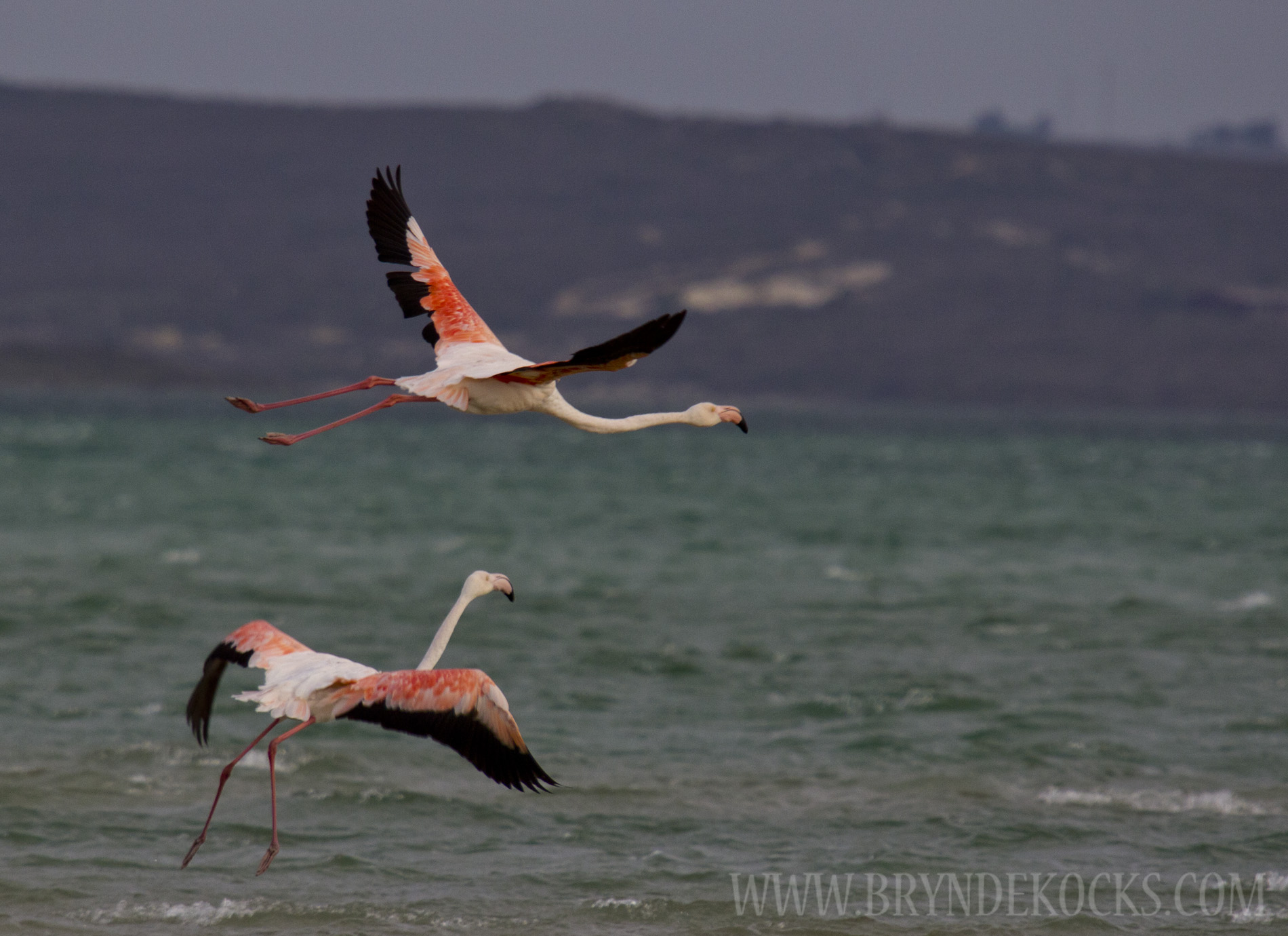 Greater Flamingos at the West Coast National Park