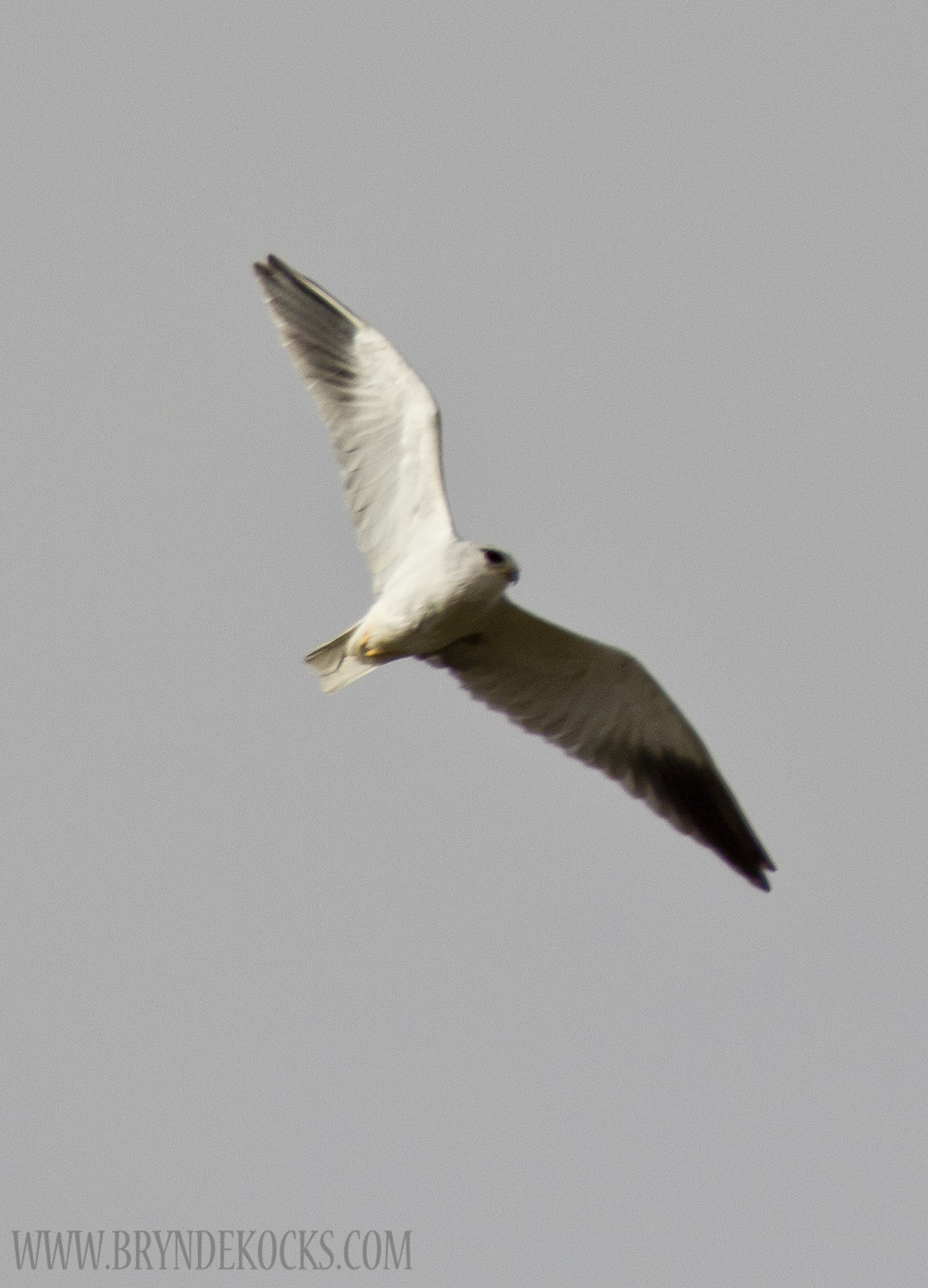 Black Shouldered Kite at the West Coast National Park