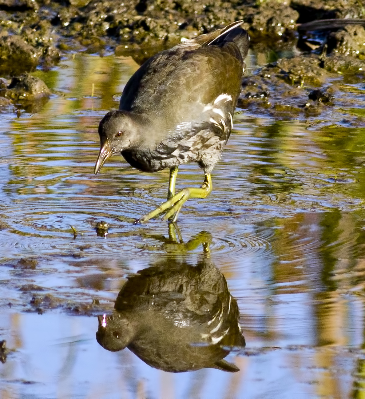 A young Common Moorhen