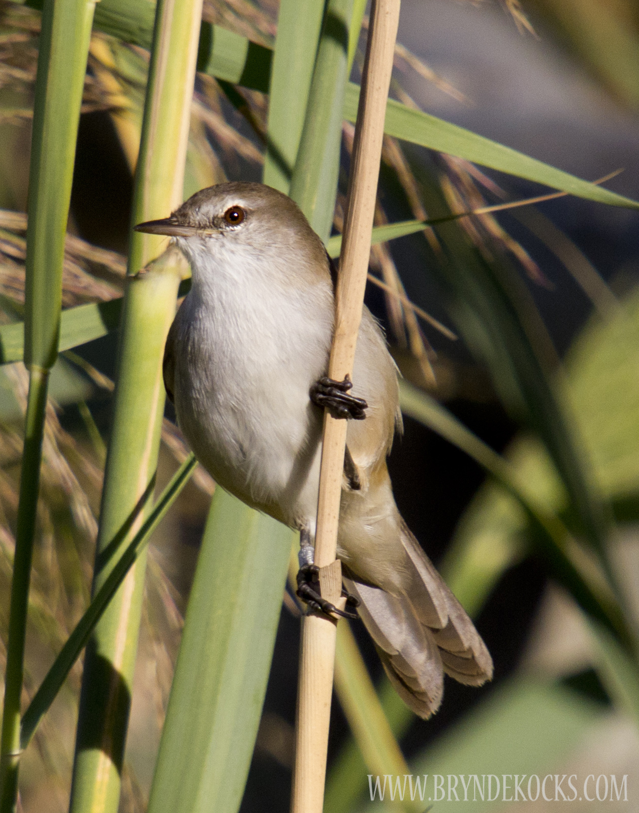 Cape Reed Warbler