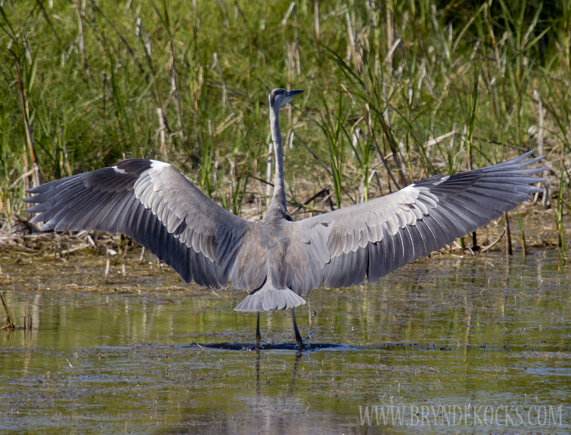 Grey Heron Spread