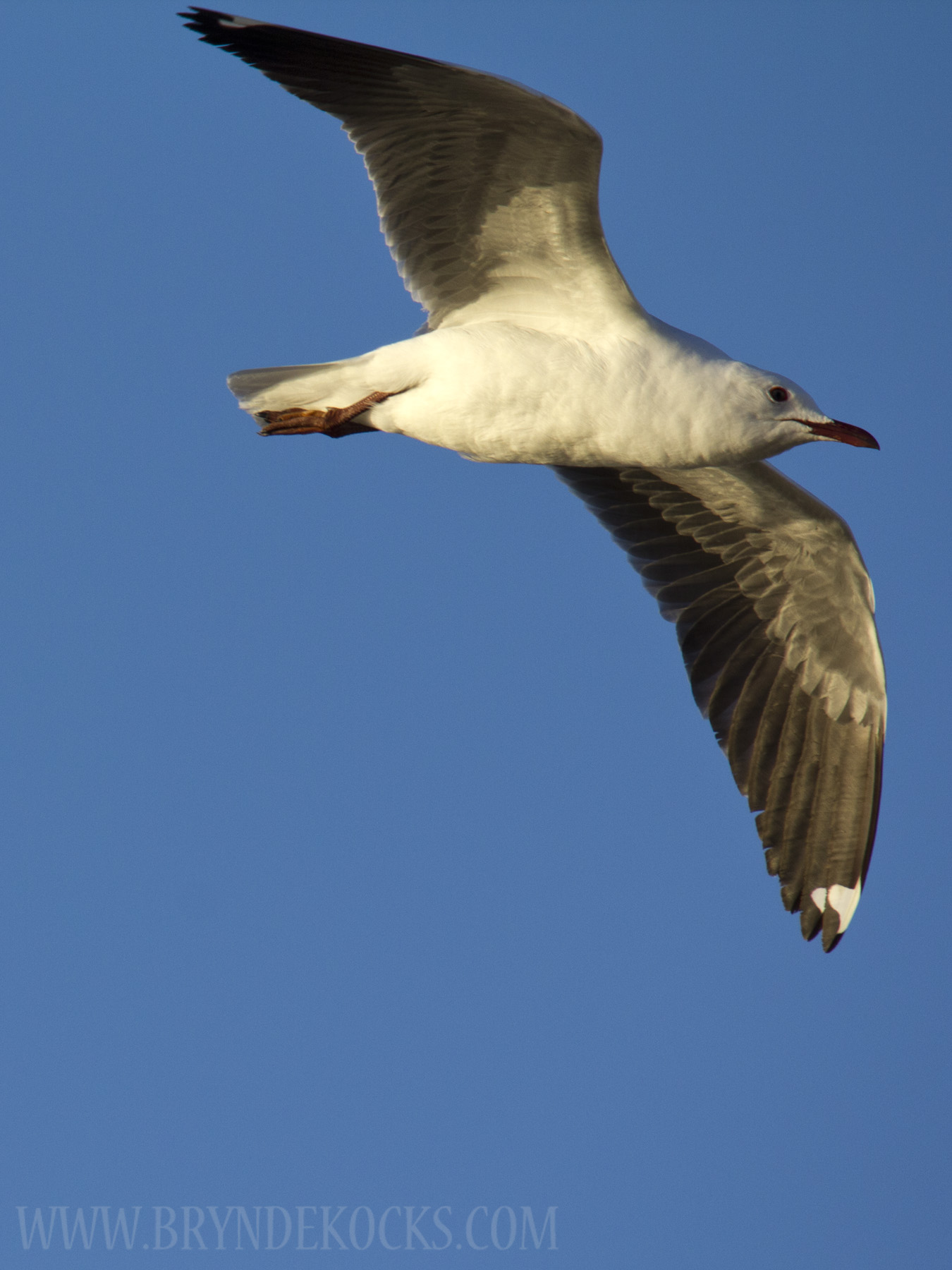 Hartlaub's Gull at Mouille Point
