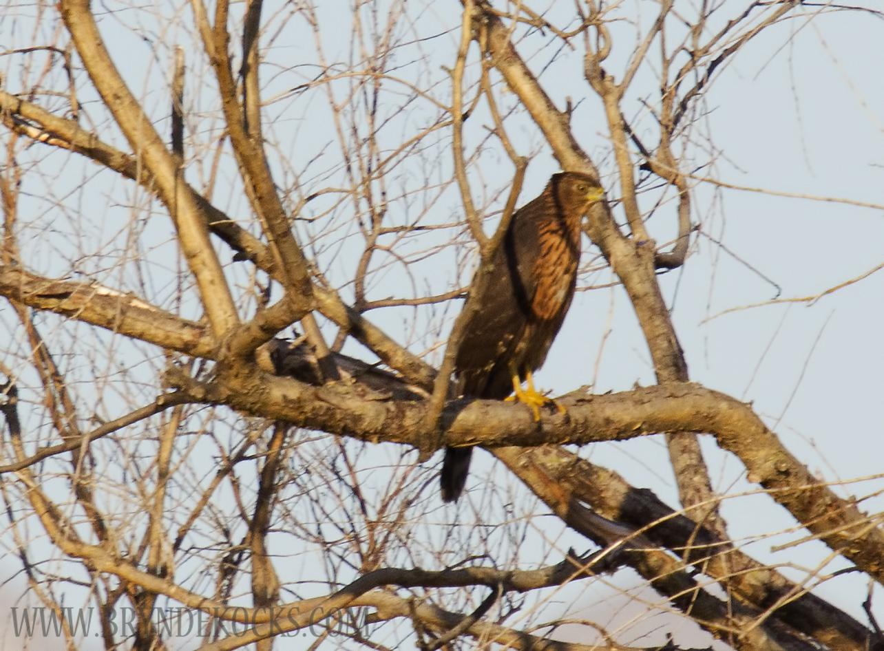 Juvenile Black Sparrowhawk