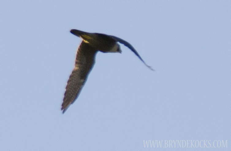 Peregrine Falcon Flying Over