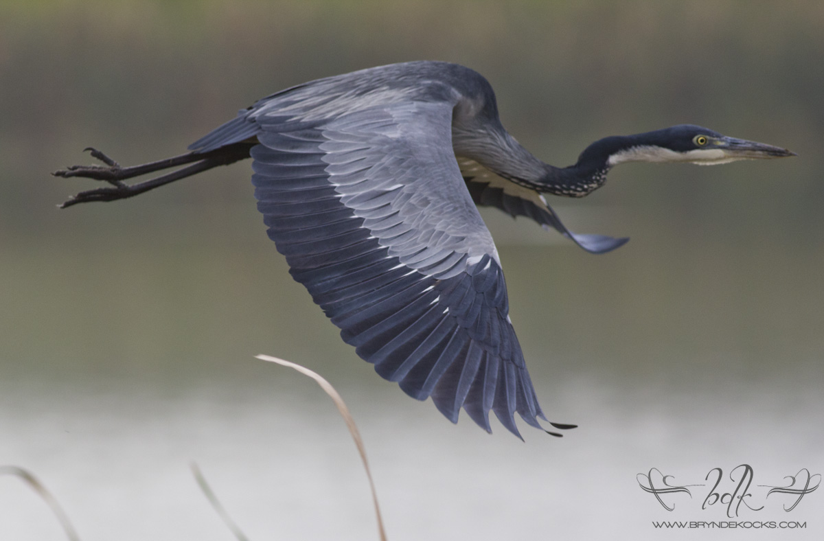 Black headed heron - photo#11