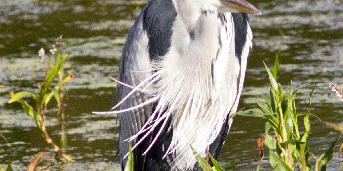 Grey Heron at Dick Dent Bird Sanctuary