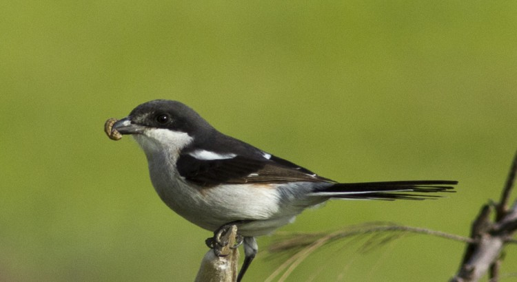 Common Fiscal at Dick Dent Bird Sanctuary