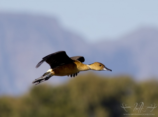 Fulvous Duck in Flight