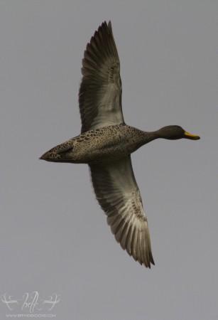 Yellow-Billed Duck at Dick Dent Bird Sanctuary