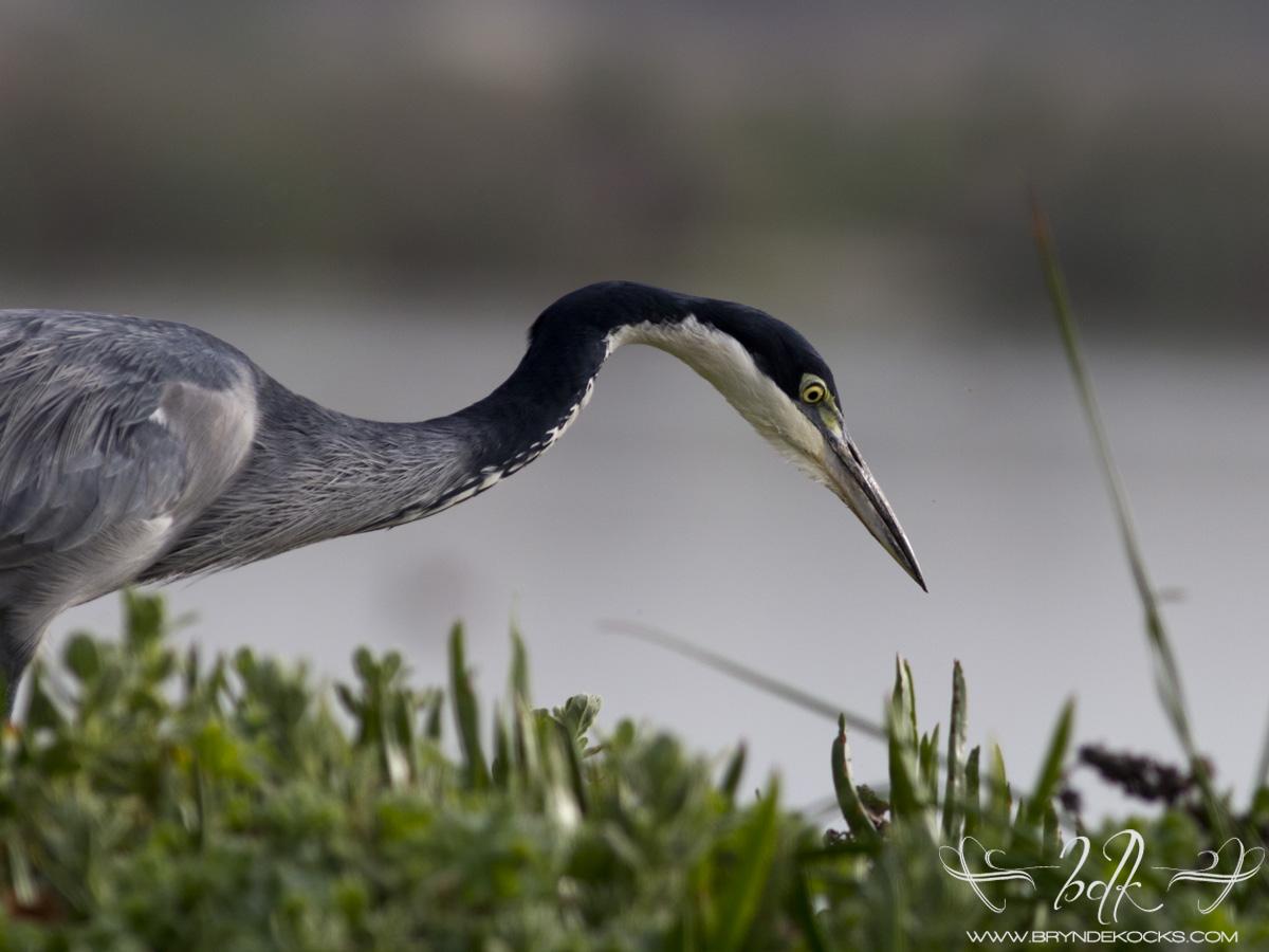 Black Headed Heron at Strandfontein Sewage Works