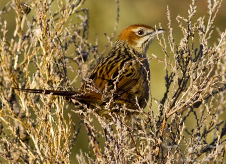Cape Grassbird at Helderberg Nature Reserve