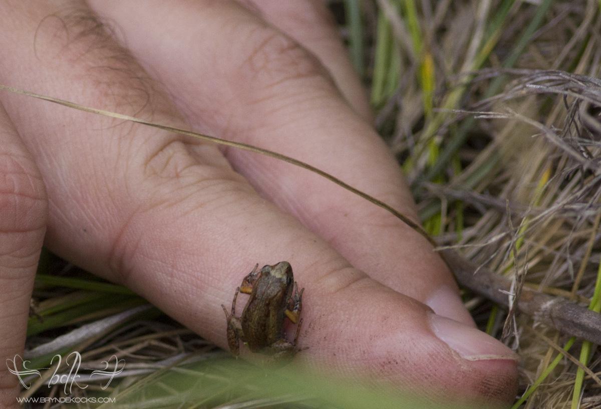 De Villiers Moss Frog