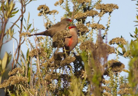 Common Waxbill at Helderberg Nature Reserve
