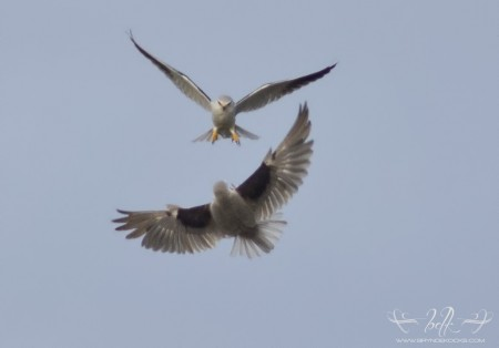Black Shouldered Kites