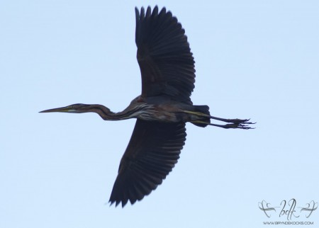 Purple Heron at Helderberg Nature Reserve