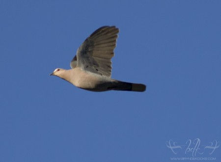 Red Eyed Dove at Helderberg Nature Reserve