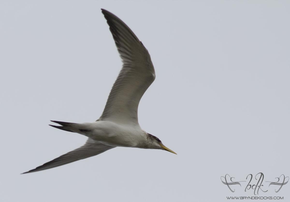 Swift Tern at Strandfontein Sewage Works