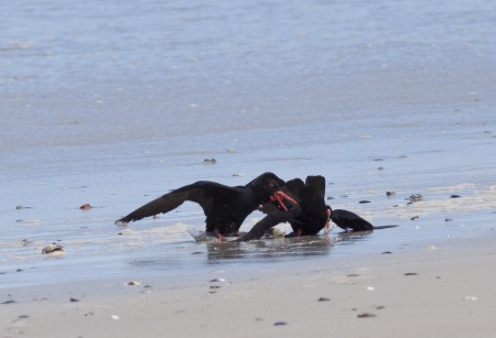 Fighting Oystercatchers