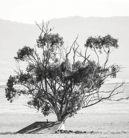 Steppe Buzzards in a Tree