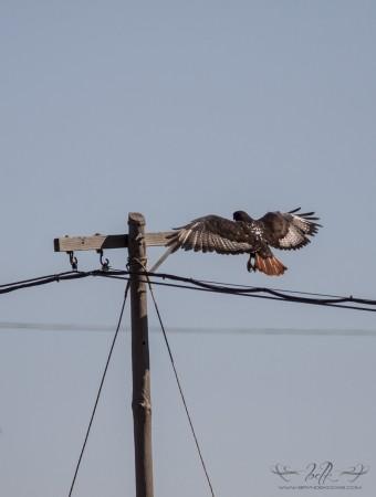 Jackal Buzzard landing.