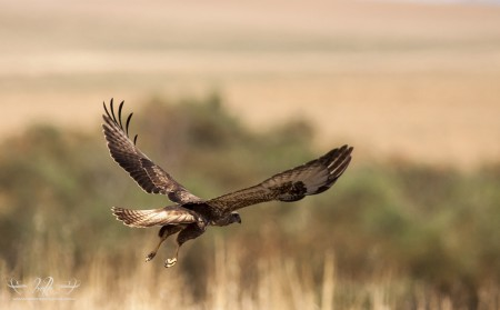 Steppe Buzzard taking off.