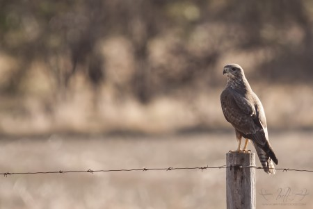 Steppe Buzzard perched on road side pole.