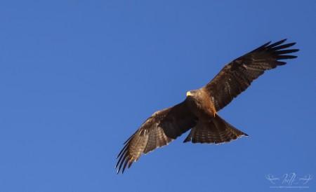 Yellow Billed Kite in Flight near Klipheuwel.