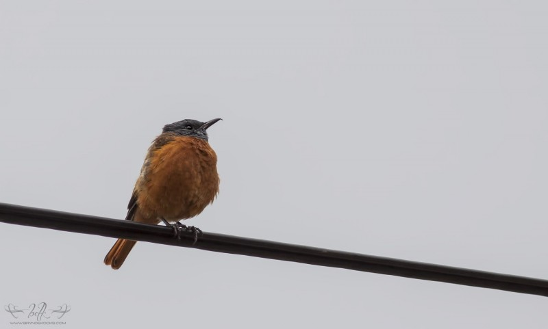 Cape-Rock-Thrush