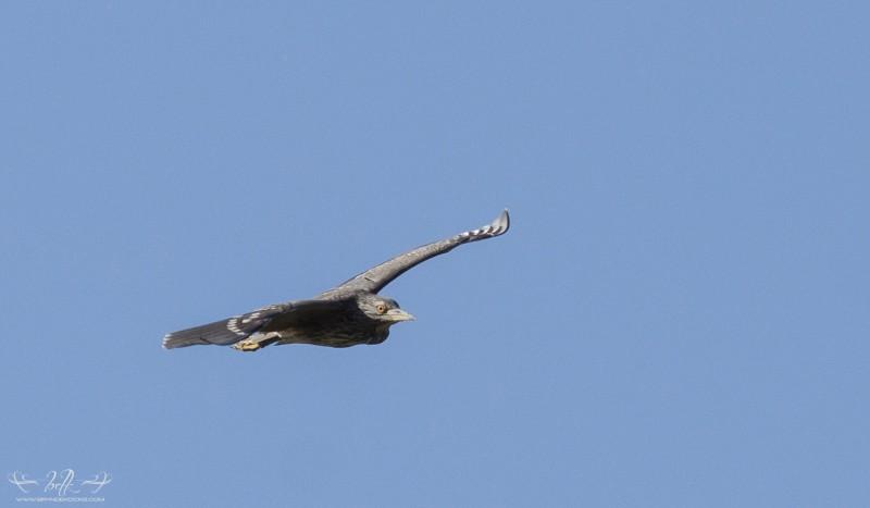 flying black crowned night heron