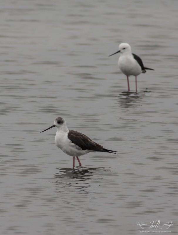 black-winged-stilts