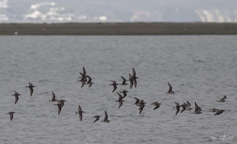 flock-of-waders