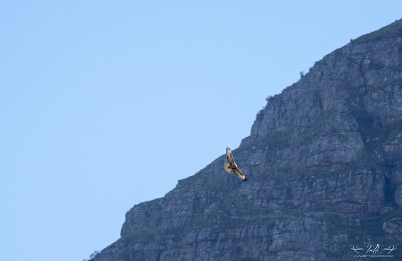 forest buzzard