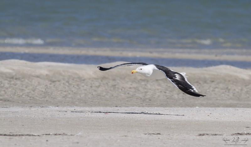 kelp-gull