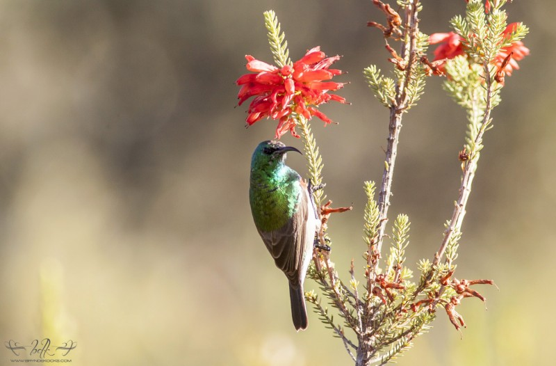 sunbird lesser double collared