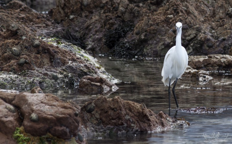 little-egret-bettys-bay