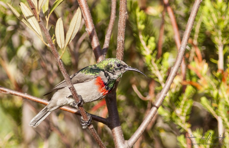 lesser double collared sunbird molting