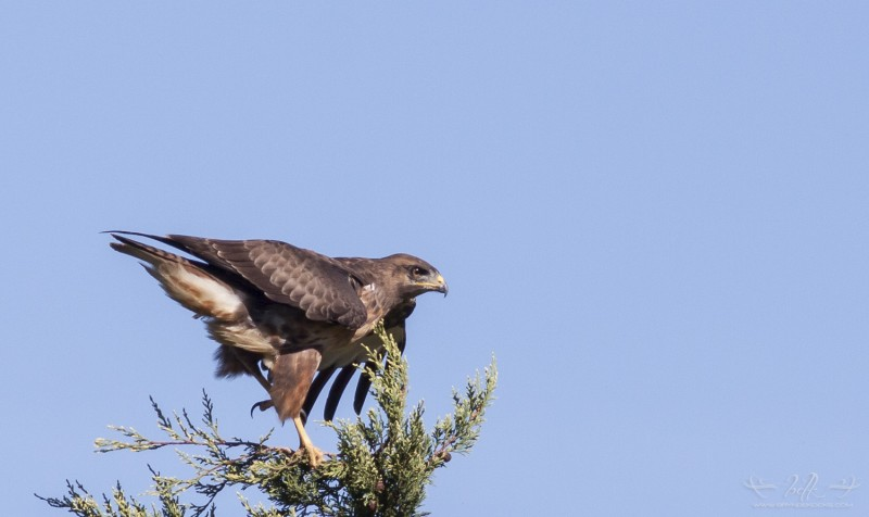steppe buzzard landing