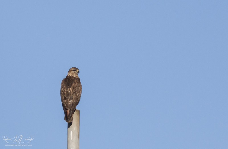 perched steppe buzzard