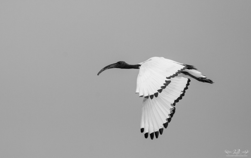 sacred-ibis-black-and-white
