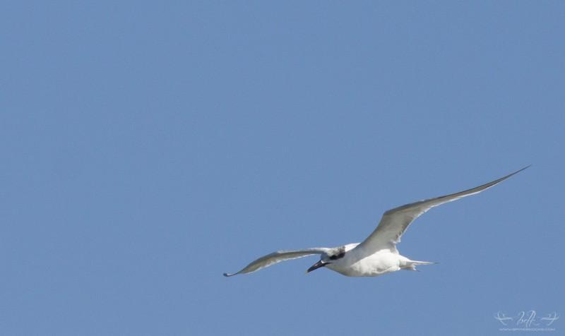 sandwhich-tern