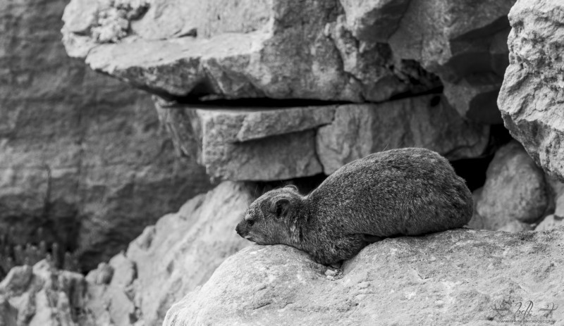 sleepy-hyrax