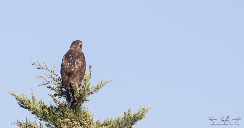 Steppe Buzzard in tree