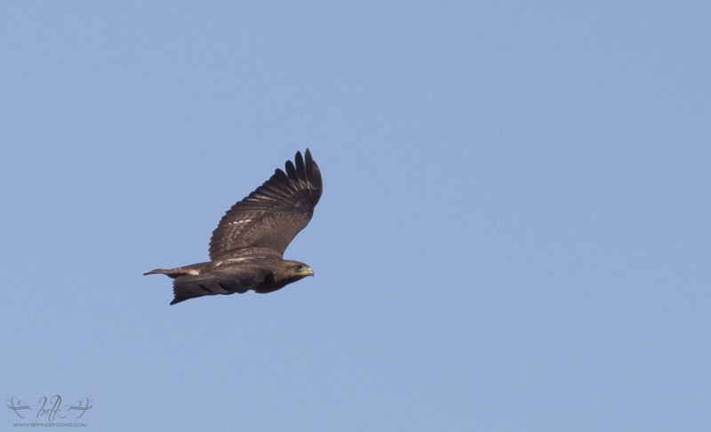 Another Steppe Buzzard